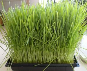 Wheat Grass Tray